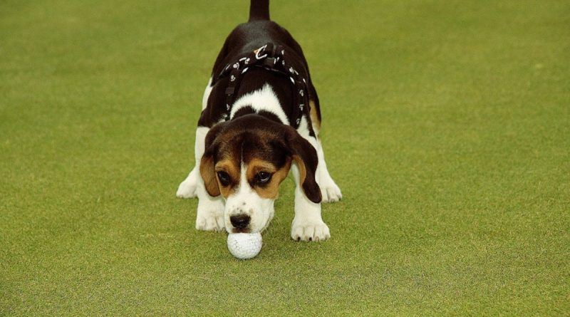 Tag din hund med på golfbanen